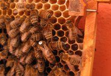 anadolu arı ırkı