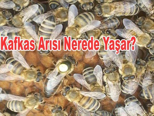 kafkas arısı nerede yaşar