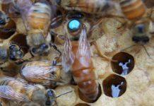 ana arı nedir
