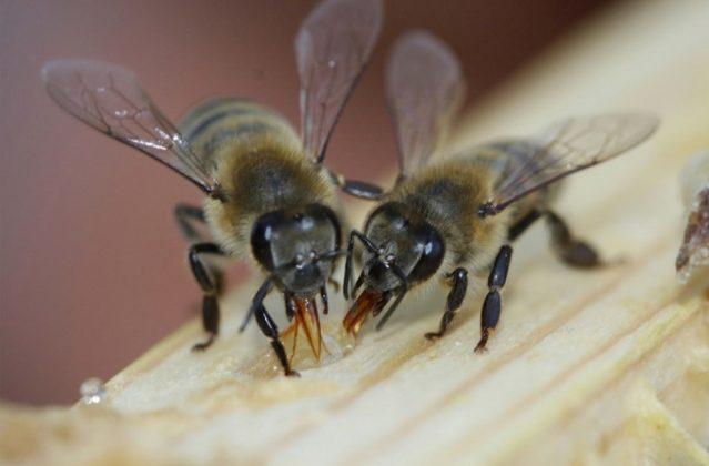 efe ana arı 2