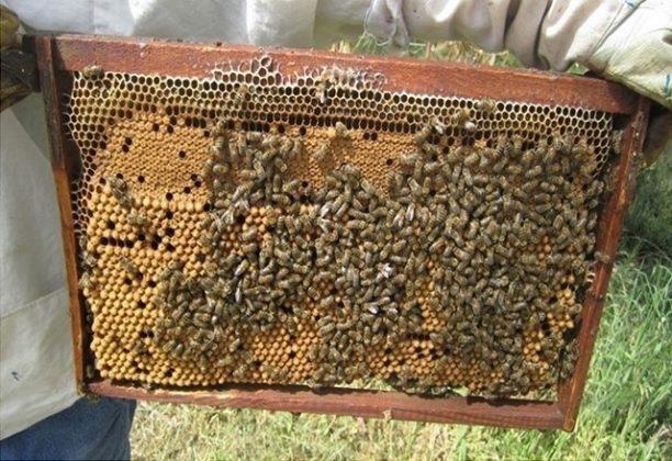 efe ana arı 4