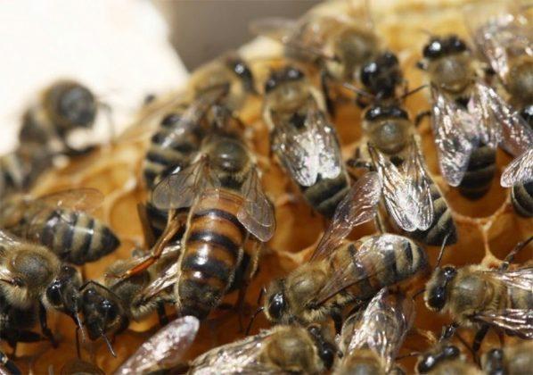 efe ana arı