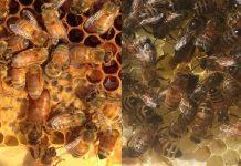 Ana Arı Satışı