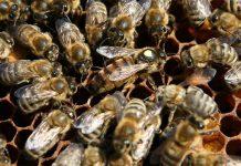 kafkas arısı nedir