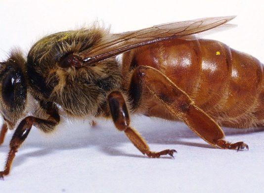 Kraliçe Arı