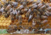yığılca arısı