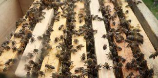 2020 yılı satılık arı